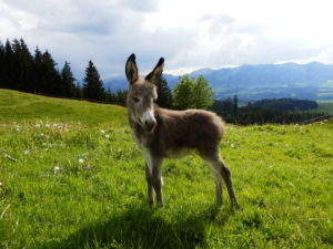 young donkey at the alps, bavaria
